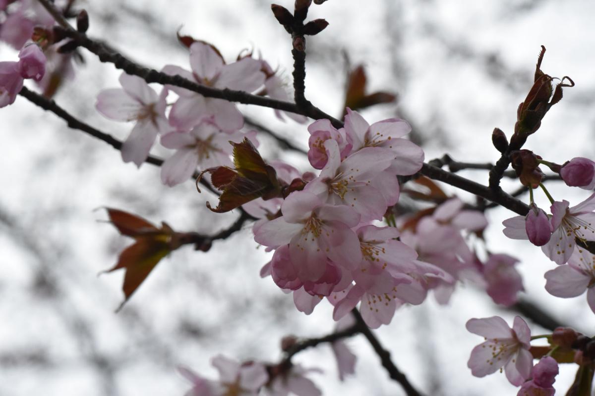 桜の微笑み