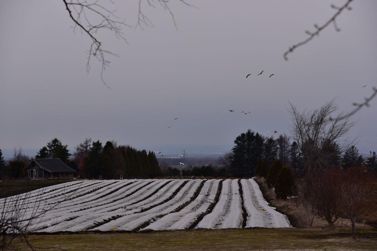 白鳥が舞う風景