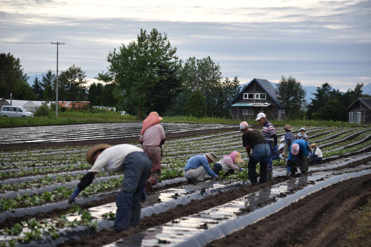 イチゴの苗を植えています