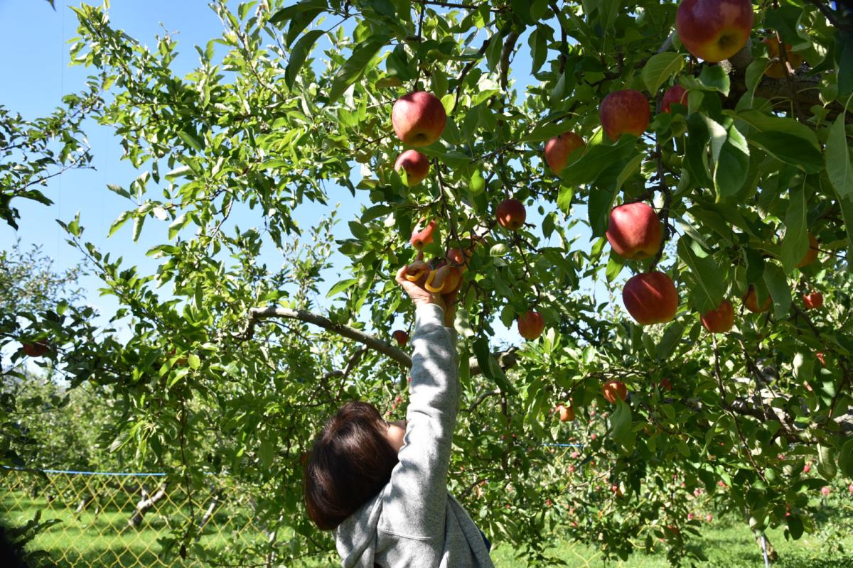 今年も果物狩りへ