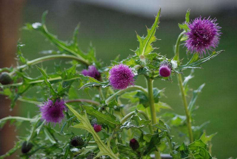 野あざみの花