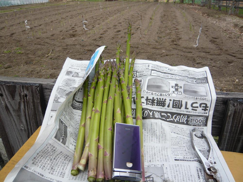 アスパラ初収穫
