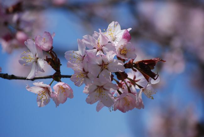 桜、咲いた♪