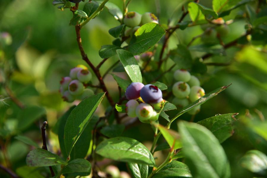 花茶のベリーたち